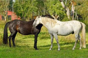 Horse Breeding Terminology - Dam and Sire Meaning