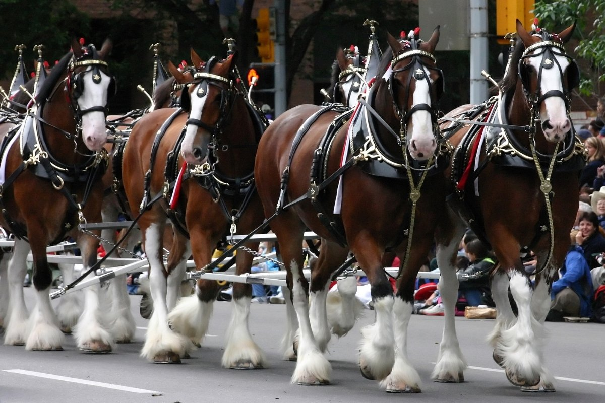 How Much Are The Budweiser Clydesdales Worth?