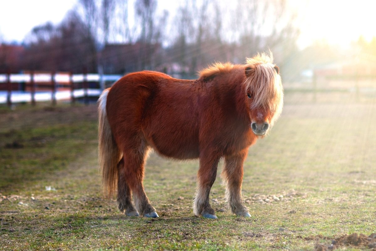How Much Does A Shetland Pony Weigh