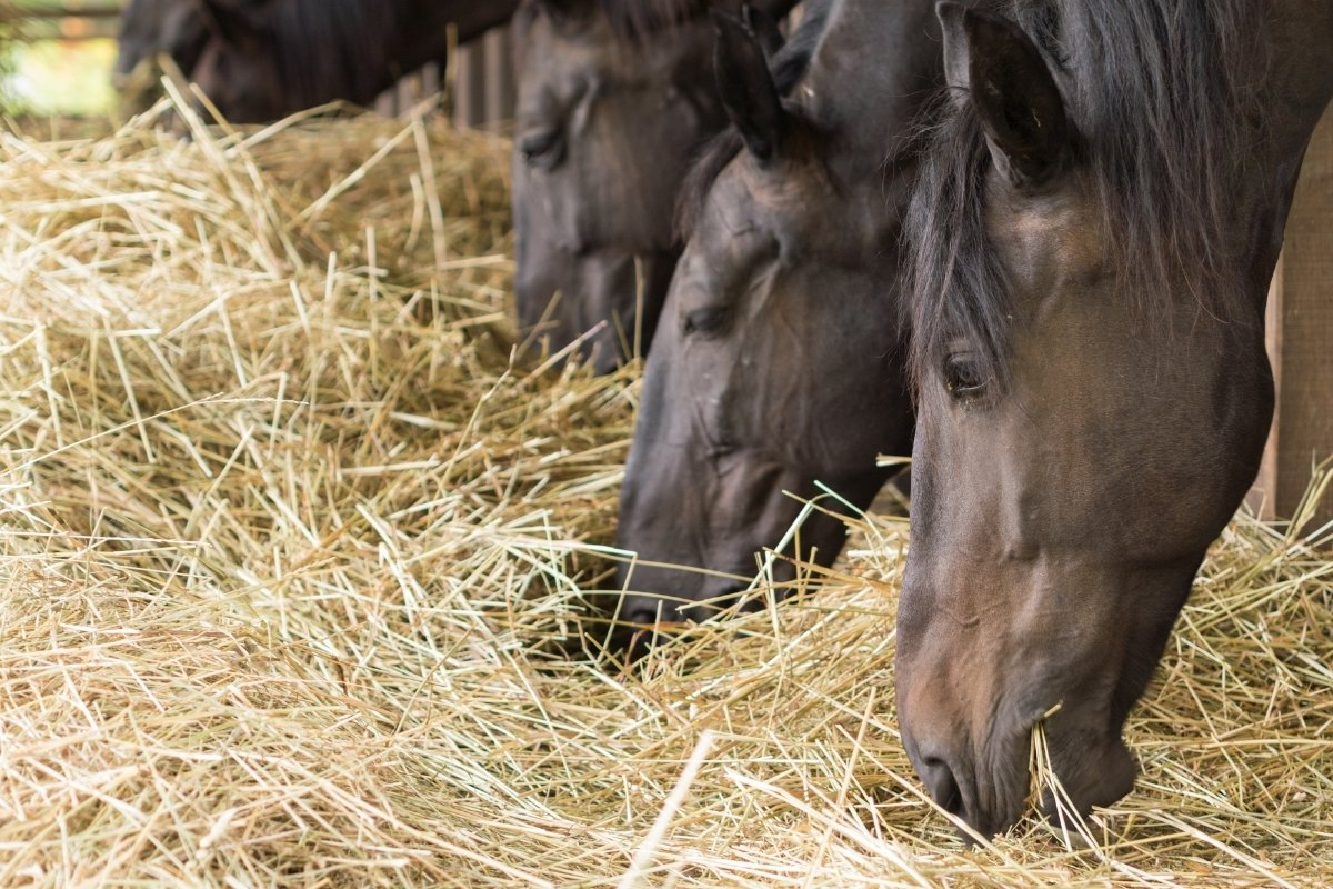 Will Horses Eat Meat - Is It Ok