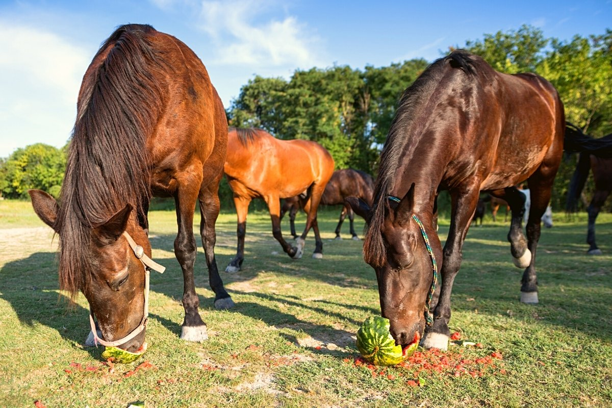 Can Horses Have Watermelon