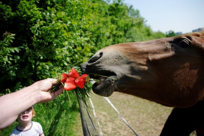 How To Feed Strawberries To Your Horse