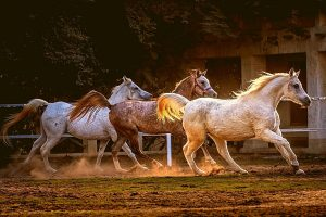 Introducing Different Types Of Arabian Horses