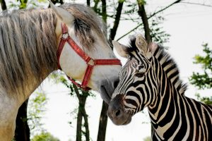 Can Zebras And Horses Mate
