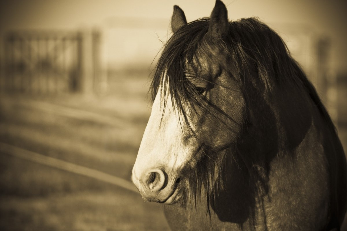 Clydesdale Horse Temperament – A Gentle Giant