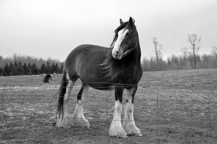 Clydesdale Vs Percheron – Which Is Taller