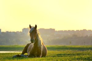 Do Horses Ever Lay Down