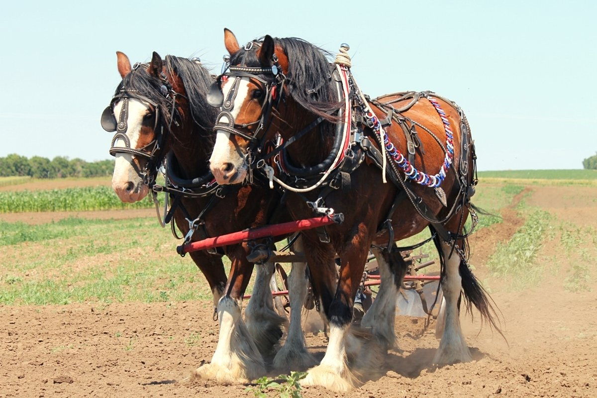 How Much Do Clydesdales Weigh
