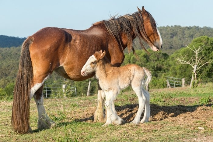 Is Clydesdale Temperament Different In Mares Vs Geldings