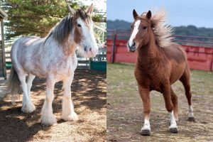 Percheron Vs Clydesdale Size – Which Is Bigger