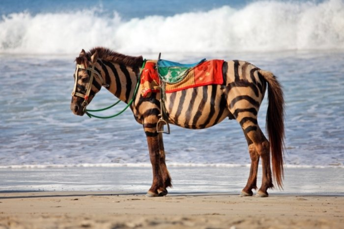 What Is A Horse And Zebra Mix Called