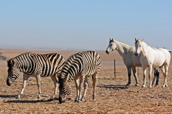 What Is The Difference Between A Zebra And A Horse