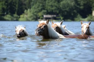 Are Horses Good Swimmers